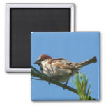 Chipping Sparrow Magnet