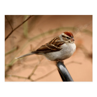 Chipping Sparrow Postcard