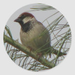 Chipping Sparrow Sticker