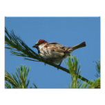 Chippling Sparrow Posters