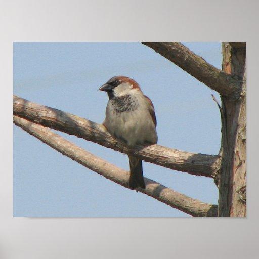 Chippling Sparrow Print