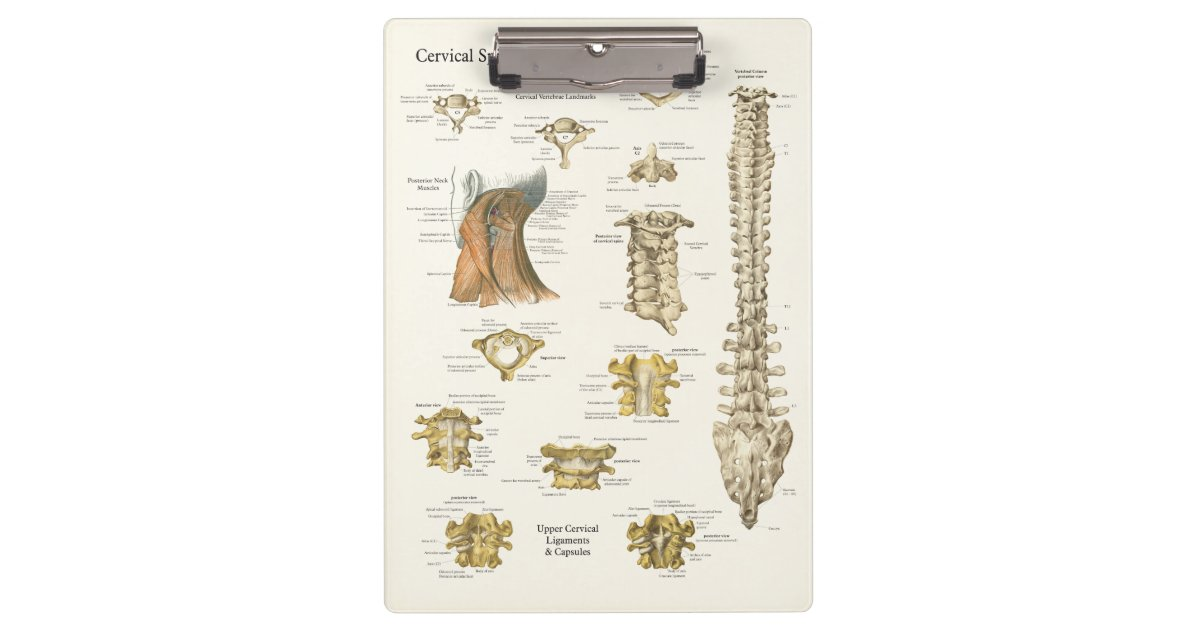 Chiropractic Cervical Spine Anatomy Clipboard | Zazzle.com
