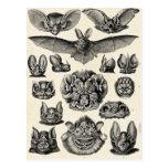 Chiroptera de Haeckel Tarjetas Postales
