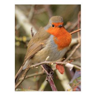 Chirpy Robin Post Card