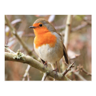 Chirpy Robin Post Card