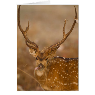 Chital or Cheetal, Spotted Deer, male grazing Card