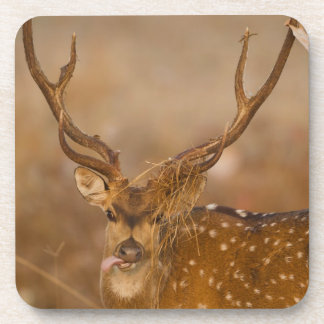 Chital or Cheetal, Spotted Deer, male grazing Coasters