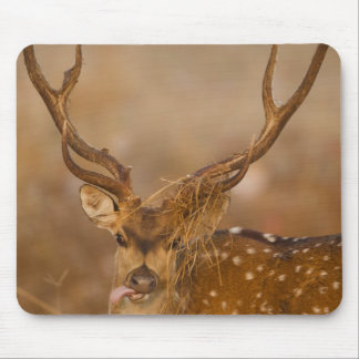 Chital or Cheetal, Spotted Deer, male grazing Mouse Pad