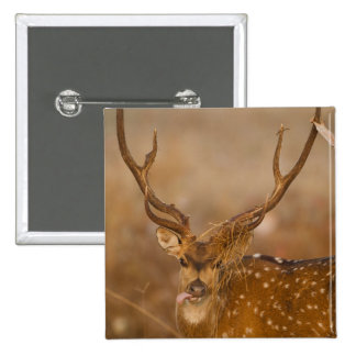 Chital or Cheetal, Spotted Deer, male grazing Pinback Button