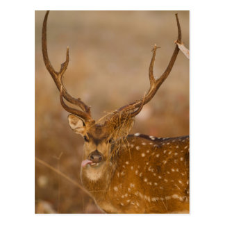 Chital or Cheetal, Spotted Deer, male grazing Postcard