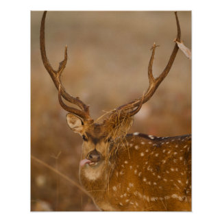 Chital or Cheetal, Spotted Deer, male grazing Posters