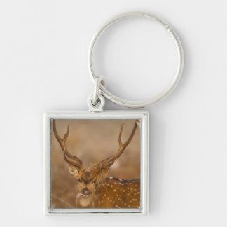 Chital or Cheetal, Spotted Deer, male grazing Silver-Colored Square Keychain