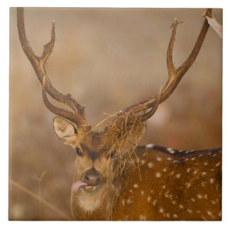 Chital or Cheetal, Spotted Deer, male grazing Tile