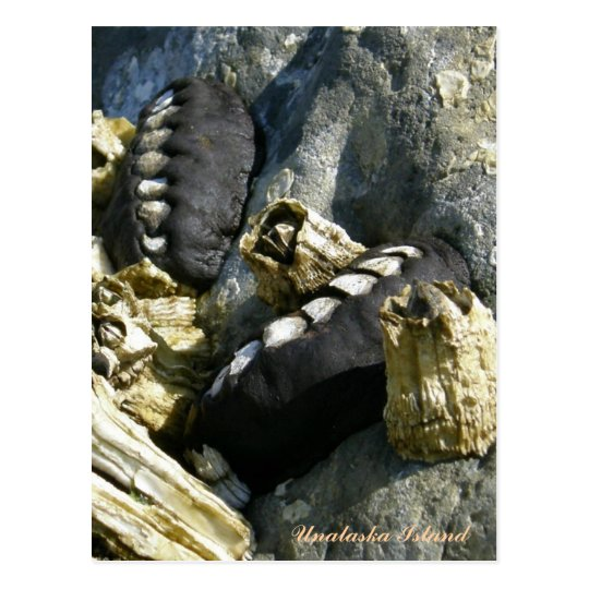 Chitons and Barnacles on a Rock Postcard