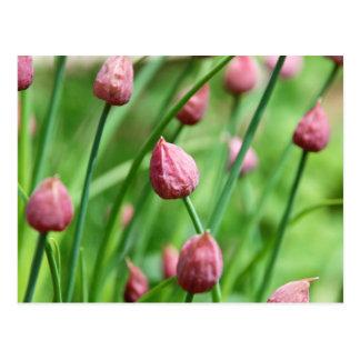 Chive flower bud postcard