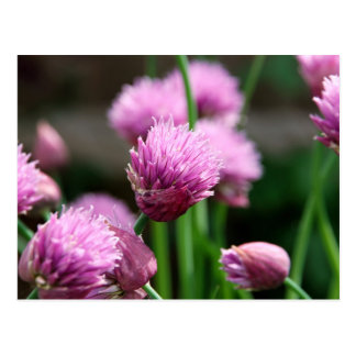 Chive flowers postcard