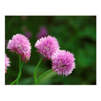 Chive flowes postcard