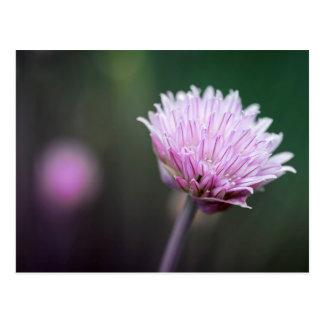 Chives flower macro postcard