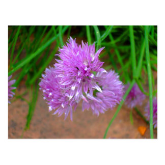 Chives with Purple Flower Blossoms Postcard