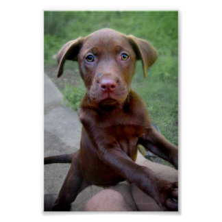 Chocalate Labrador Pittie Puppy Exploring Poster