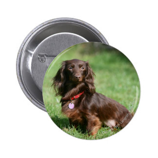 Chocolate and Tan Long-haired Miniature Dachshund Button