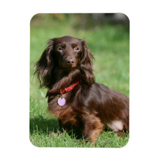 Chocolate and Tan Long-haired Miniature Dachshund Rectangular Photo Magnet