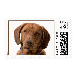 Chocolate Brown Labrador Retriever Postage Stamps