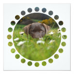Chocolate Lab in Daisies  Invitations