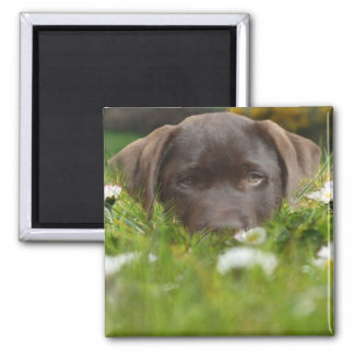 Chocolate Lab in Daisies Magnet