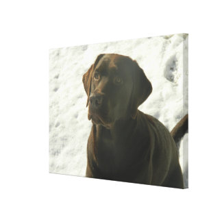 Chocolate Lab in The Snow Canvas Print