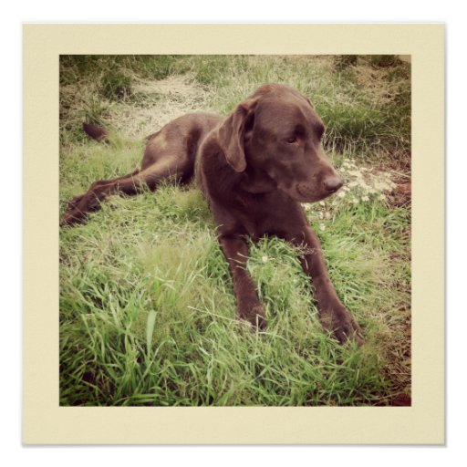 Chocolate Lab Lying In Grass Photograph Poster