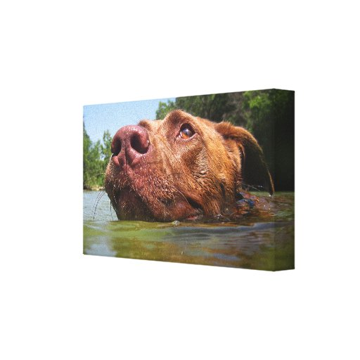 Chocolate Lab Pit Dog Swimming 9 Stretched Canvas Print