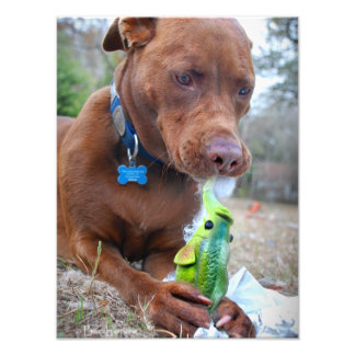 Chocolate Lab Pit Mix Dog and Toy Photographic Print