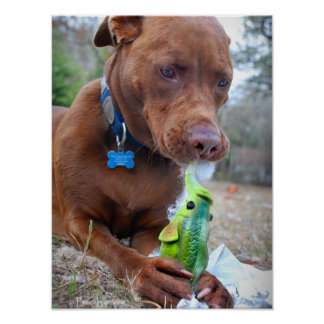 Chocolate Lab Pit Mix Dog and Toy Poster