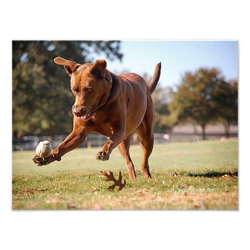 Chocolate Lab Pit Mix Dog Chasing Ball Photograph