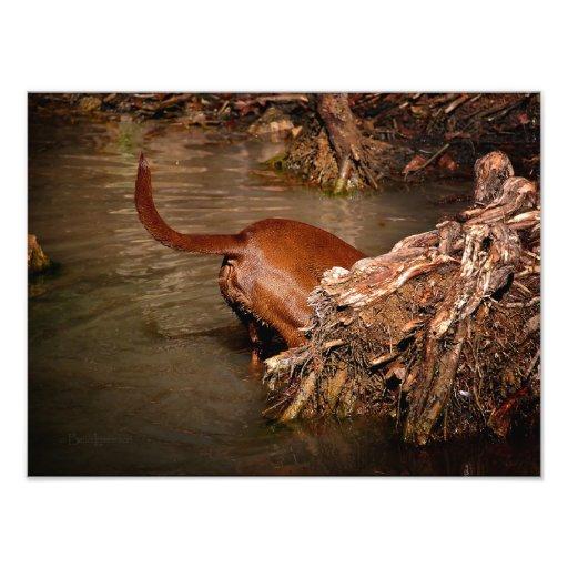 Chocolate Lab Pit Mix Dog Digging Photographic Print