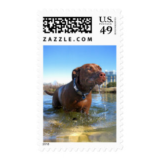 Chocolate Lab Pit Mix Dog Drooling Postage