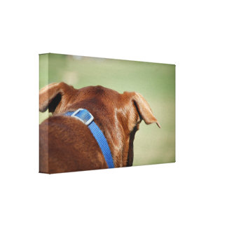 Chocolate Lab Pit Mix Dog Ear Close Up Canvas Print
