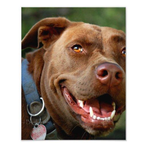 Chocolate Lab Pit Mix Dog Happy Smile Photograph