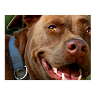 Chocolate Lab Pit Mix Dog Happy Smile Postcard