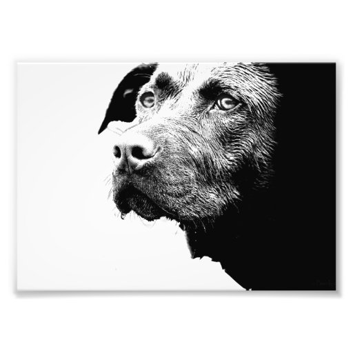 Chocolate Lab Pit Mix Dog in Black and White Art Photo