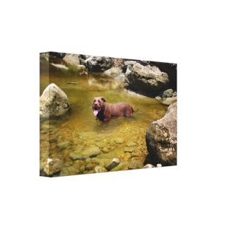 Chocolate Lab Pit Mix Dog in Swimming Hole Canvas Print