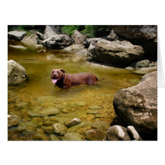 Chocolate Lab Pit Mix Dog in Swimming Hole Card