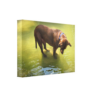 Chocolate Lab Pit Mix Dog Looking for Fish Canvas Print