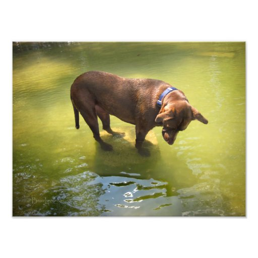Chocolate Lab Pit Mix Dog Looking for Fish Photographic Print