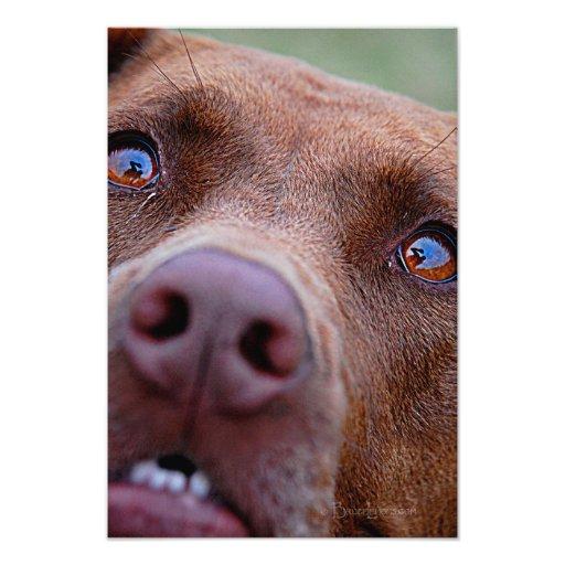 Chocolate Lab Pit Mix Dog Nose Photograph
