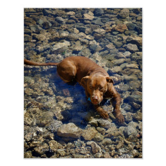 Chocolate Lab Pit Mix Dog On The Rocks Poster