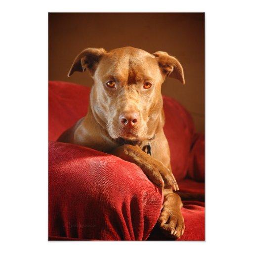 Chocolate Lab Pit Mix Dog Portrait 3 Photographic Print