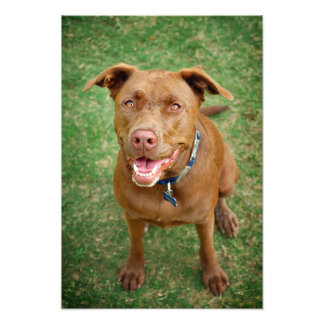 Chocolate Lab Pit Mix Dog Portrait 4 Photographic Print