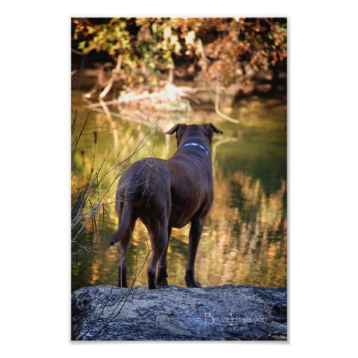 Chocolate Lab Pit Mix Dog Serene Photographic Print